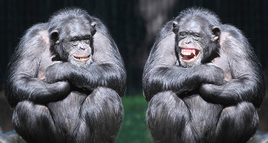 laughing-chimps